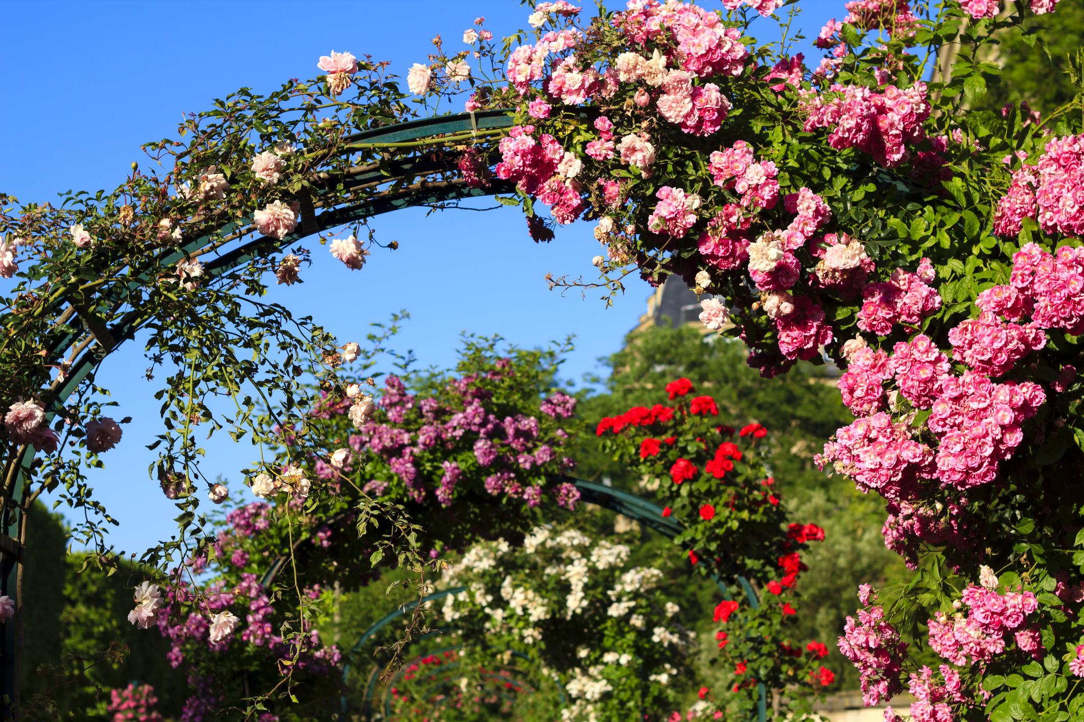 Odmiany róż: róże czepne