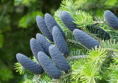 Choinkowy QUIZ przedświąteczny. Czy znasz drzewa iglaste?