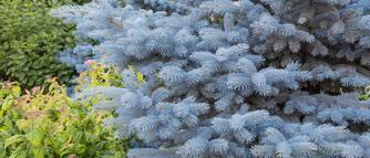 Popularne świerki do ogrodu. Świerki - uprawa, odmiany, przesadzanie